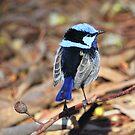 Male Blue Wren  by robmac