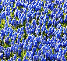 Muscari Early Magic by Jasna