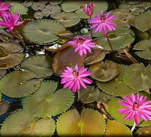 Water Lilies 2 by mlphoto