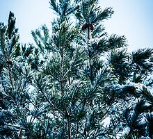 Pine tree with snow by Stefan Johansson