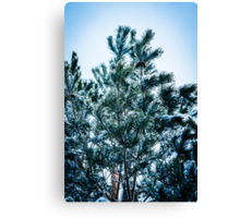 Pine tree with snow Canvas Print