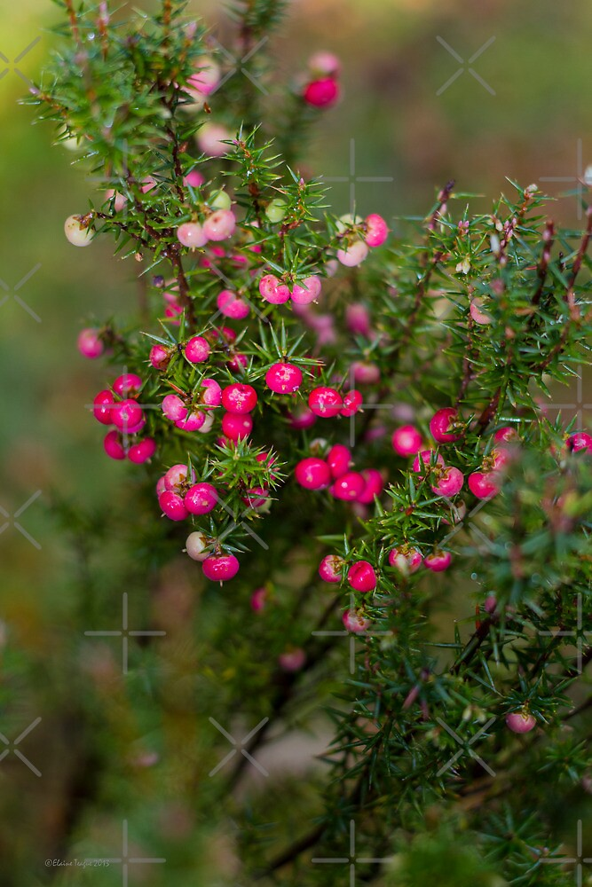 Tasmanian Mountain Berries by Elaine Teague