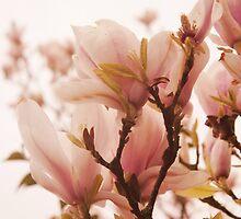 Magnolias by Nicola  Pearson