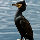 Little Black Cormorant by Sandra Chung