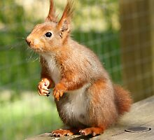 Red Squirrel by MendipBlue