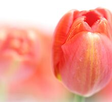 Sweet fresh Tulip... by Bob Daalder