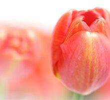 Sweet fresh Tulip... by Bob Daalder