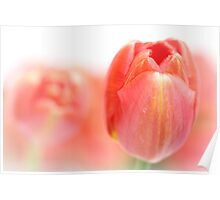 Sweet fresh Tulip... Poster