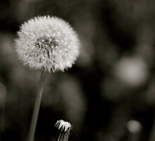 Dandelion Wine by Speculum Anima Photography