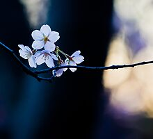 Cherry Blossoms by indiabluephotos