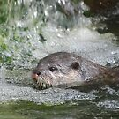 Otter in a Waterfall by Dorothy Thomson