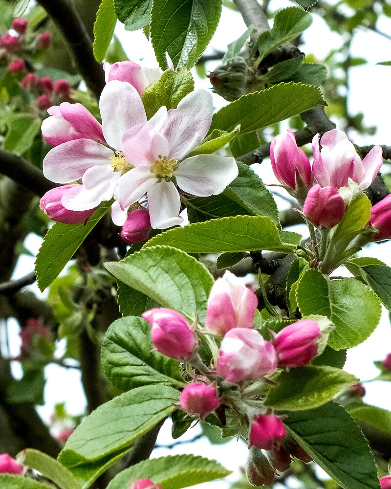 The first apple blossom by bratpyle