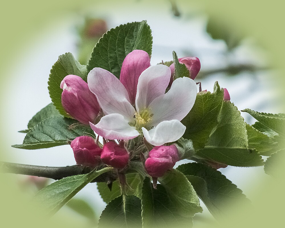 Apple blossom by bratpyle
