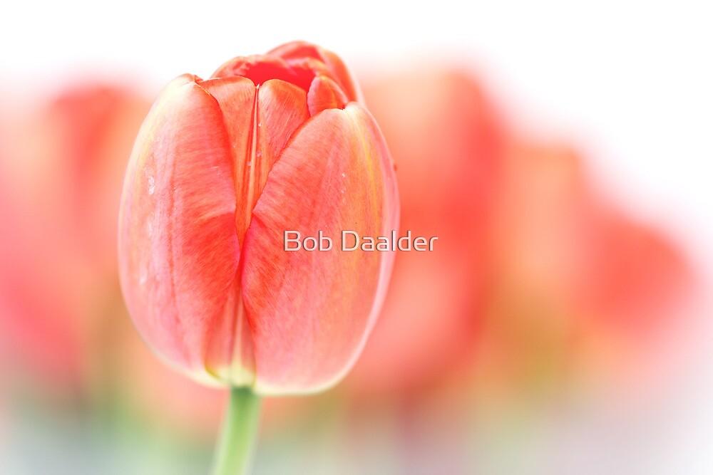 Sweet fresh Tulip... (2) by Bob Daalder