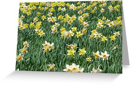 A host of golden daffodils by Jennifer J Watson