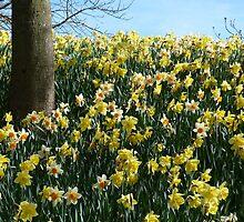 Daffodils up to the sky by Jennifer J Watson