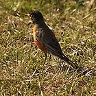 North American Robin by Stephen Thomas