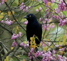 Grackle  by Dennis Smoyer