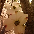 Dogwood by the tree limb by PicsbyJody
