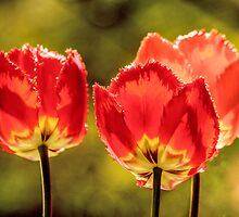 Glowing Red Tulips by LudaNayvelt