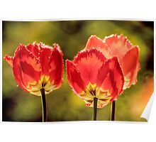 Glowing Red Tulips Poster