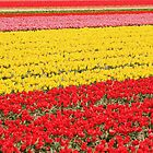 Tulip fields 1 by Jasna