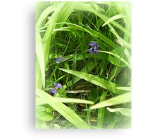 Purple Violets hiding in Grass Canvas Print