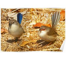 Male and Female Blue Wrens Dance with me Poster