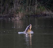 carp jumping by murch22
