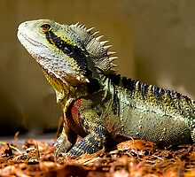 Male Eastern Water Dragon, Australian Lizard, Queensland. by johnrf