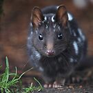 Eastern Quoll .Black mortph. by Donovan wilson