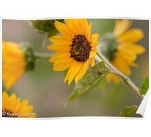 Sunflowers on DelMar Blvd. Poster