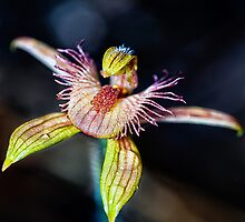 Dancing Spider Orchid by Paul Amyes