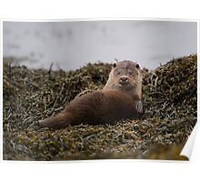 Scottish coastal otter Poster