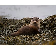 Scottish coastal otter Photographic Print