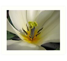 Beauty So Fair - Tulip Macro Art Print