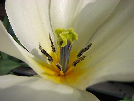 Beauty So Fair - Tulip Macro by BlueMoonRose