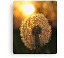 Dandelion at sunset Canvas Print