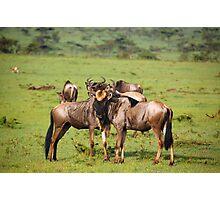 Wildebeests Together Photographic Print