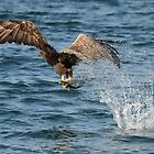 Sea Eagle on Mull by Jonathan Goddard