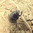 England's Dung Beetle by Livvy Young