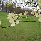 Dogwood Blooms by Carol E. Davis