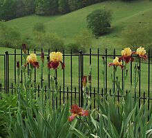 Explicit Bearded Irises (Supreme Sultan ) by Carol E. Davis