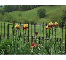 Explicit Bearded Irises (Supreme Sultan ) Photographic Print