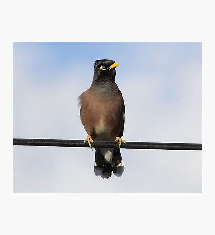 My New Feather Style Indian Minor Bird Photographic Print