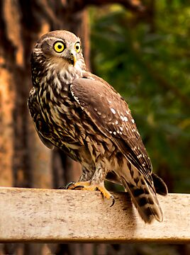 Barking Owl by DavidsArt
