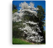 The magestic Magnolia Canvas Print