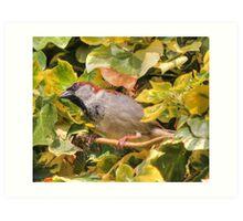 House sparrow (Passer domesticus) Art Print