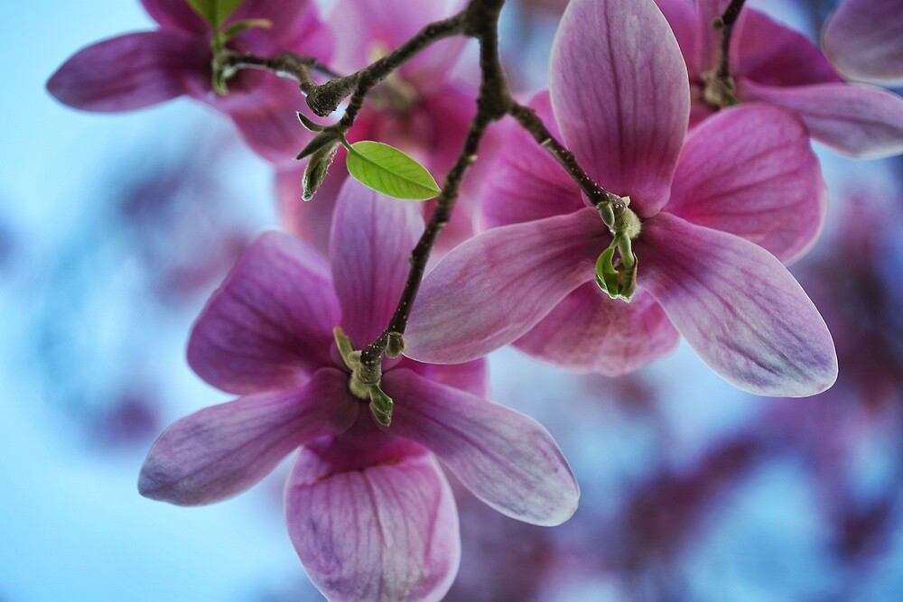 Saucer Magnolia by DJ Fortune