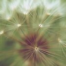 Dandelion Seedlings 3 by lindsycarranza